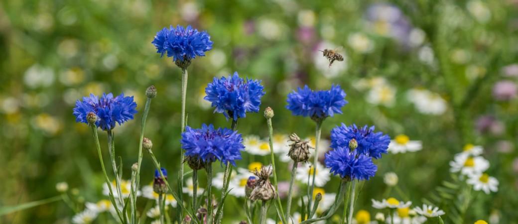 Biene im Anflug auf Kornblume, im Hintergrund Kamille