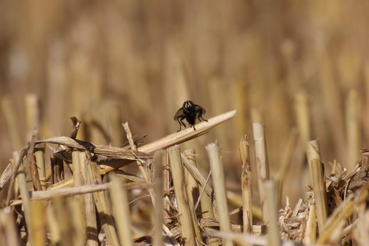 Fliege auf Strohalm