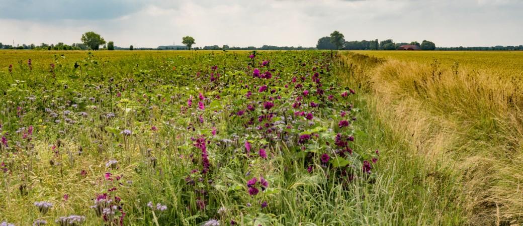 LNV Streifen im Weizenfeld