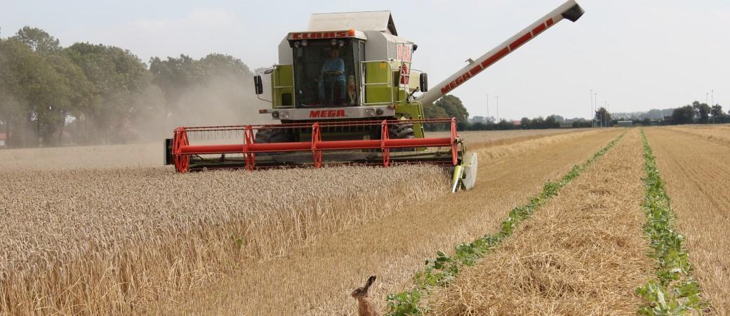 Feldhase bei der Getreideernte