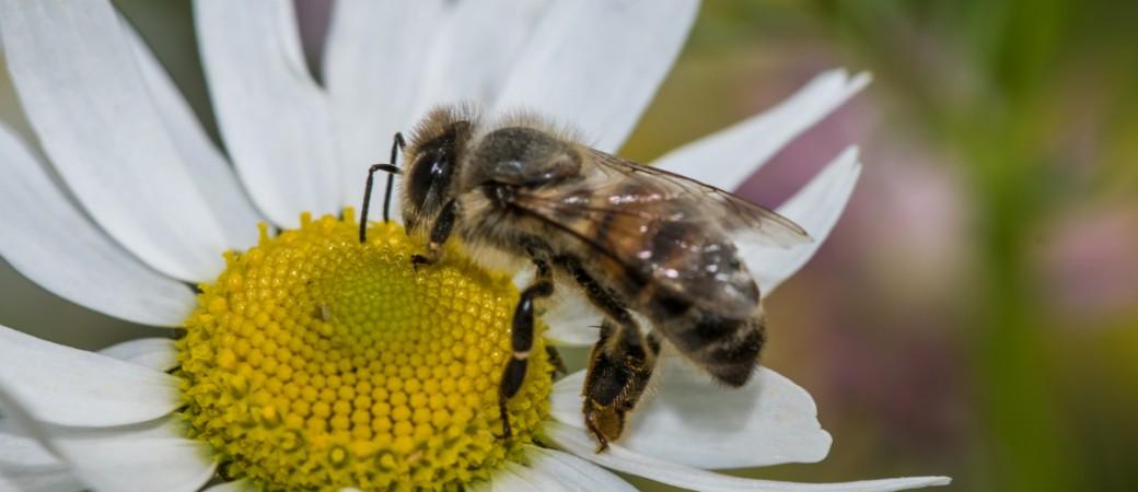 Biene auf Kamille