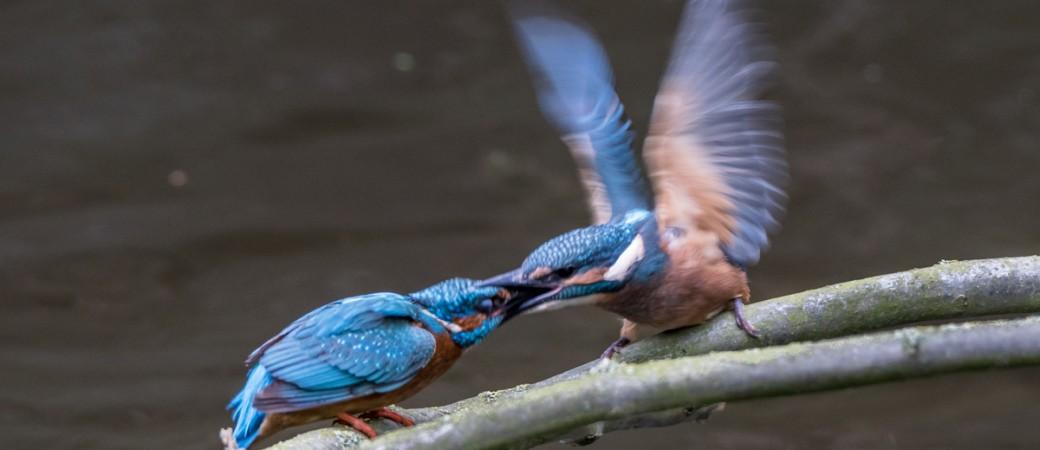 Eisvogel Beuteübergabe